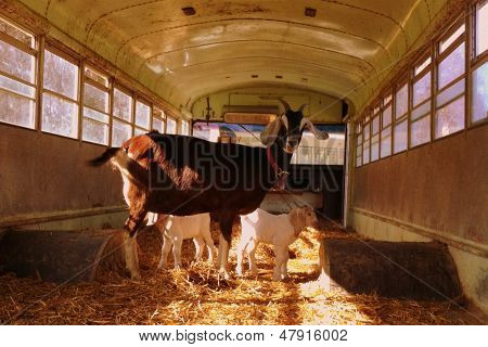 goat on a bus