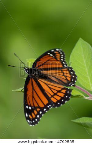 Butterfly20070607173157