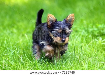 Beautiful Young Yorkshire Terrier is having fun