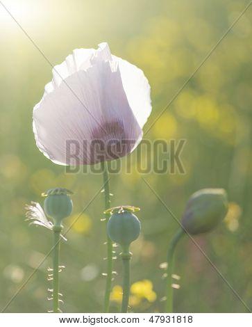 Purple Poppy Flower Portrait In Summer Sunlight