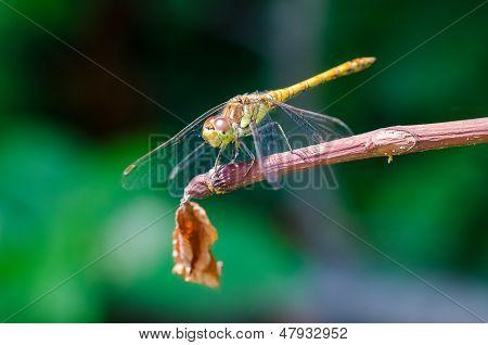 Libelle hautnah
