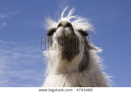 White Llama Head Against Blue Sky