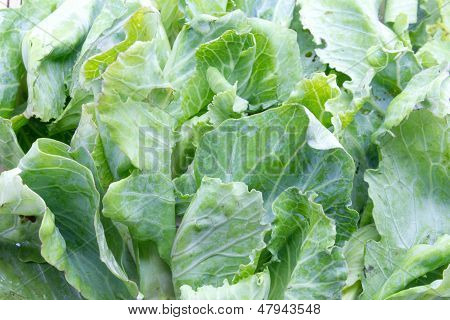 Brussels Sprouts,vegetable