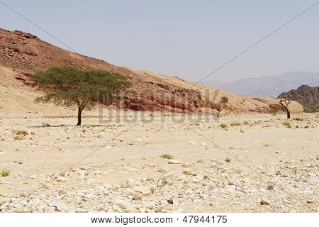Row of acacia trees in the desert canyon near Eilat, Israel