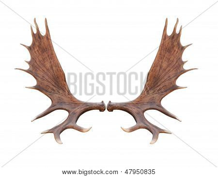 Large Elk Isolated