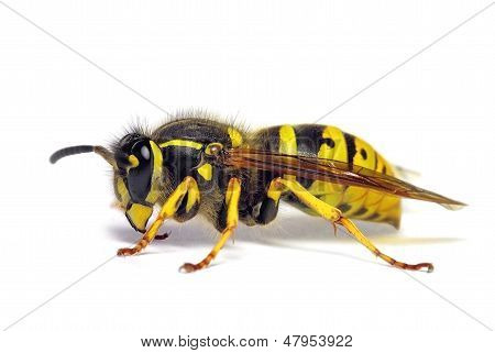 European wasp Vespula germanica