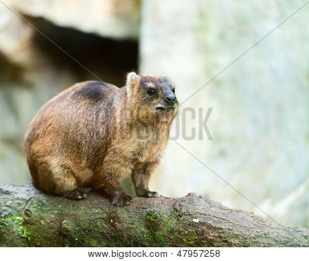 Rock Hyrak (procavia Capensis)