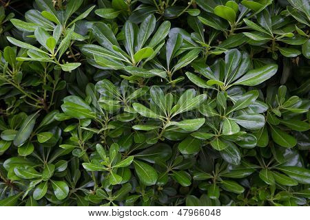 Green bush with laurel