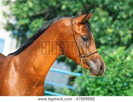 Portrait Of Beautiful Bay Yuong  Arabian Stallion