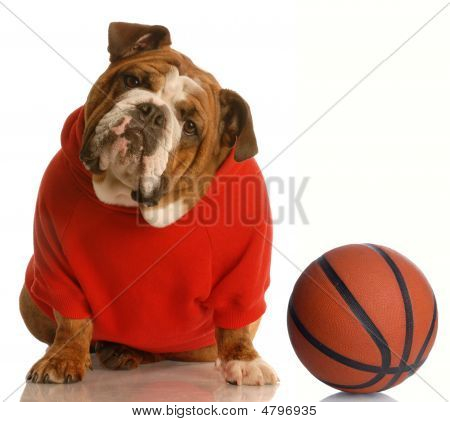 Bulldog In Red Sweater With Basketball