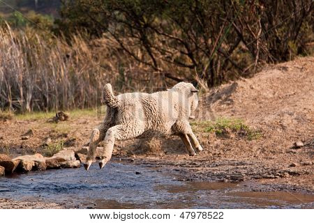 Sheep Jump Over Water