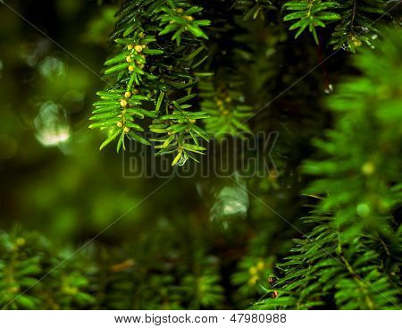 Close up of branches of coniferous tree with water drops