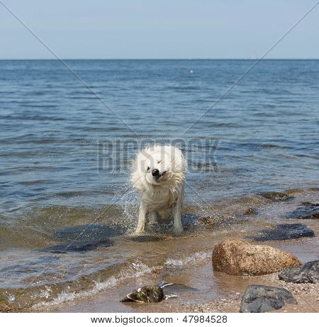 White Swiss Shepherd Coming Out Of The Water