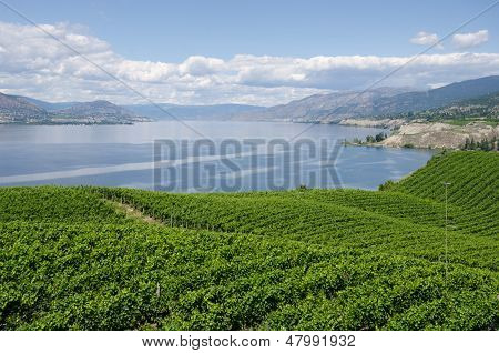 Vineyards on theVineyards overlooking Okanagan Lake in British Columbia