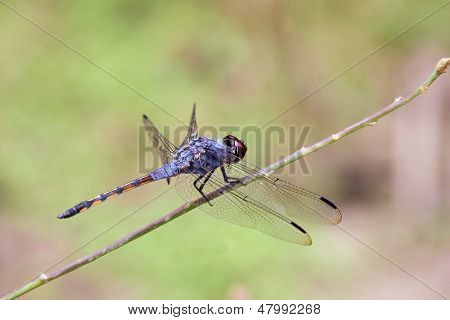 Blue dasher dragonfly close up