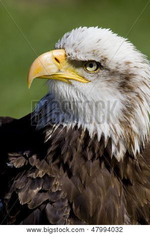 Sea Eagle Portrait