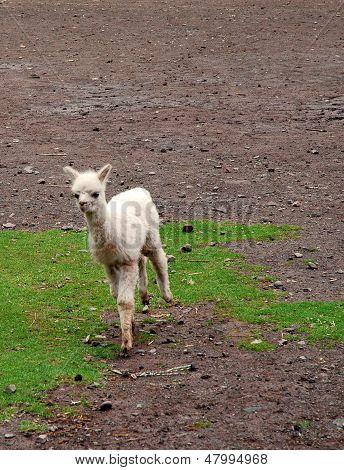 Baby alpaca corriendo
