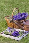 foto of picking tray  - Freshly picked lavender in a wicker basket on a wooden tray - JPG