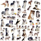stock photo of australian shepherd  - group of purebred australian shepherd in front of white background - JPG