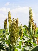 foto of sorghum  - Sorghum or Millet field with blue sky background - JPG