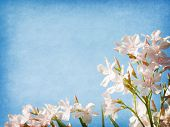 stock photo of oleander  - Light pink  flowers of oleander  on blue paper background - JPG