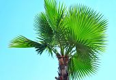 picture of washingtonia  - very high resolution Washingtonia Palm with blue sky in background