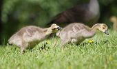 Canada Goose Gosling Walking On The Grass