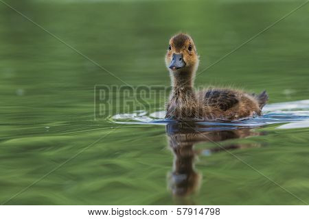 Young Wigeon Swimming In The Pond