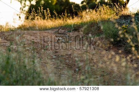 Hare On Country Road