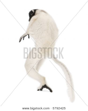 Young Crowned Sifaka, Propithecus Coronatus, 1 Year Old, Walking, Studio Shot