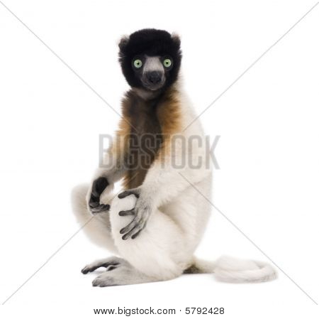 Young Crowned Sifaka, Propithecus Coronatus, 1 Year Old, Sitting, Studio Shot