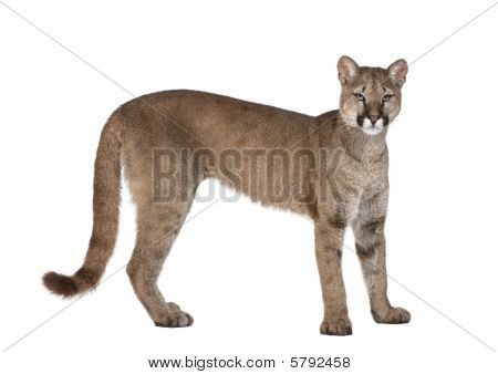 Portrait Of Puma Cub, Puma Concolor, 1 Year Old, Standing in front of white background, Studio Shot