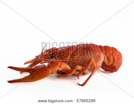 One craw fish
