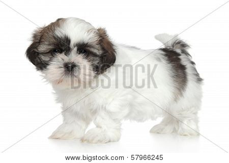 Shihtzu Puppy Portrait