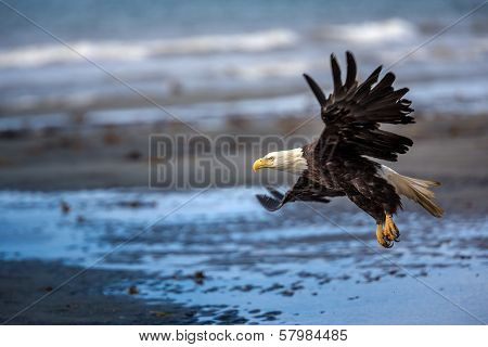American Bald Eagle at Alaska