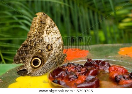 Owl Butterfly (caligo Memnon) Eating Berry Jam