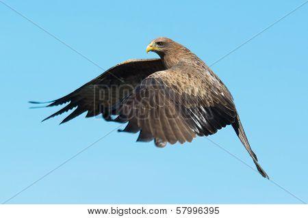 Black Kite (milvus Migrans) In Flight