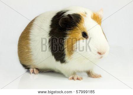 Guinea Pig .