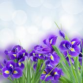 stock photo of purple iris  - blue  irises flower posy close up  isolated on white background - JPG