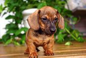 stock photo of greenery  - Red dachshund puppy standing on a wood porch - JPG