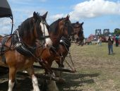 stock photo of clydesdale  - Three drought horses harnessed to a wagon and giving rides at a country fair - JPG
