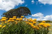 foto of bogong  - Summer daisies on the Bogong High Plains - JPG