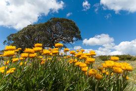 stock photo of bogong  - Summer daisies on the Bogong High Plains - JPG