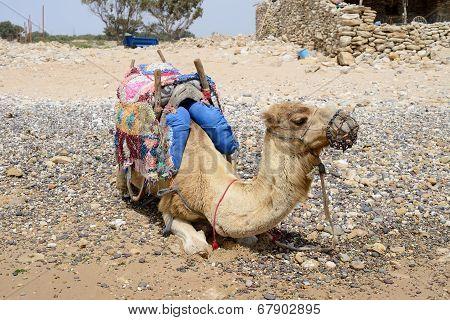 Camel Resting