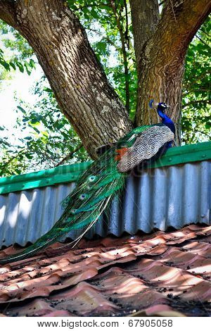 Resting Peacock