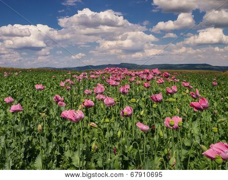 Opium Poppy Field In Full Bloom