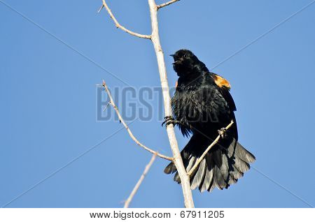 Red-winged Blackbird Calling While Perched In Tree