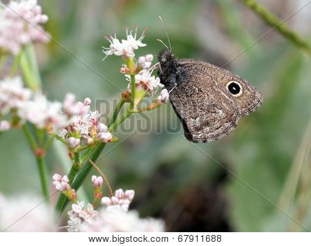 Small Wood Nymph on a Flower