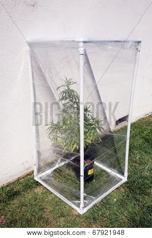 A Genuine Medical Marijuana plant being grown in its own personal green house outside. Green Houses help increase humidity and temperature and can have exotic gases such as CO2 added