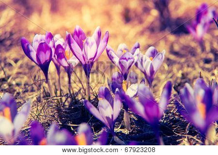 Purple crocus flower on the spring meadow. Carpathian, Ukraine, Europe. Beauty world. Retro filtered. Instagram toning effect.